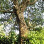 Du lịch Cát Bà ngắm cây Trôm 210 năm tuổi