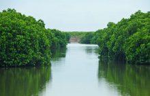 Một góc rừng ngập mặn Phù Long